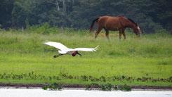 Jabiru, Jabiru mycteria, Pantanal