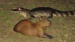 Capybara, Hydrochoerus hydrochaeris, Pantanal