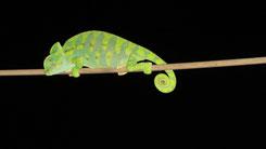 African Chameleon, Basiliskenchamäleon, Chamaeleo africanus