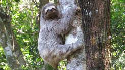 Three-toed sloth, Dreifinger-Faultier, Bradypus, Tijuca