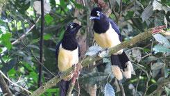 Plush-crested Jay, Kappenblaurabe, Cyanocorax chrysops
