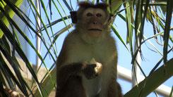 Toque macaque, Ceylon-Hutaffe, Macaca sinica