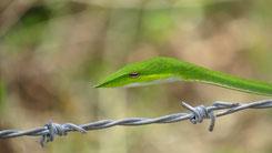 Green Vine Snake, Nasen-Peitschennatter, Ahaetulla nasuta