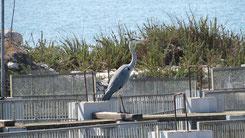 Grey Heron, Graureiher, Ardea cinerea