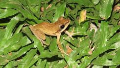 Indian Tree Frog, Chunam Laubfrosch, Polypedates maculatus
