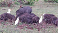 Wild Boar, Wildschwein, Sus scrofa
