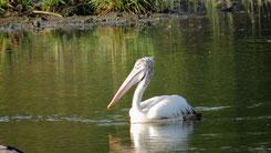 Spot-billed Pelican, Graupelikan, Pelecanus philippensis