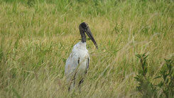 Wood stork, Waldstorch, Mycteria americana