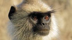 Tufted Gray Langur, Südlicher Hanuman Langur