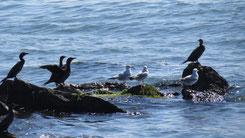 European Shag, Krähenscharbe, Phalacrocorax aristotelis + Mew Gull, Sturmmöwe, Larus canus