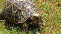 Sri Lankan Star Tortoise, Indische Sternschildkröte, Geochelone elegans