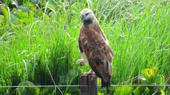 Black-colared Hawk, Fischbusard, Busarellus nigricollis