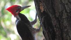 Crimson-crested Woodpecker, Schwarzkehlspecht, Campephilus melanoleucos