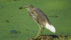 Indian Pond Heron, Paddyreiher, Ardeola grayii