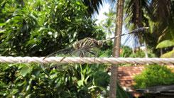 Dragonfly, Libelle Sri Lanka