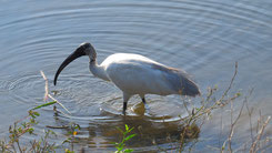 Black-headed Ibis, Schwarzkopfibis, Threskiornis melanocephalus