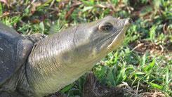 Indian Flapshell Turtle, Indische Klappen-Weichschildkröte, Lissemys punctata