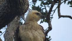 Changeable Hawk-Eagle, Haubenadler, Nisaetus cirrhatus