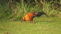 Sri Lankan junglefowl, Ceylonhuhn, Gallus lafayettii