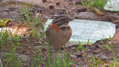Rufous-collraed sparrow, Morgenammer, Zonotrichia capensis
