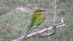 Blue-tailed Bee-eater, Blauschwanzspint, Merops philippinus
