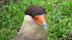 Southern Crested Caracara, Schopfkarakara, Caracara plancus