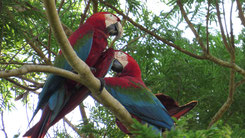 Red-and-Green Macaw, Grünflügelara, Ara chloropterus