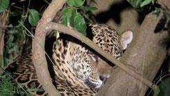 Jaguar, Panthera onca, Pantanal