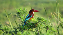 White-Throated Kingfisher, Braunliest