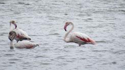 Greater Flamingo, Rosaflamingo, Phoenicopterus roseus