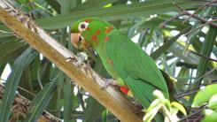 White-eyed Parakeet, Pavuasittich, Psittacara leucophthalmus