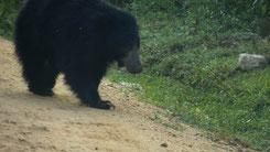 Sloth Bear, Lippenbär, Melursus ursinus, yala National Park