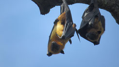 Indian Flying Fox, Indischer Riesenflughund, Pteropus giganteus