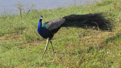 Indian Peafowl, Peacock, Blauer Pfau, Pavo cristatus