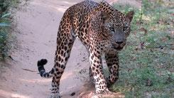 Sri Lankan Leopard, Sri-Lanka-Leopard, Panthera pardus kotiya