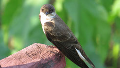 Brown-chested Martin, Braunbrustschwalbe, Progne tapera
