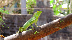 Green Forest Lizard, Calotes calotes