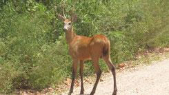 Marsh Deer, Sumpfhirsch, Blastocerus dichotomus