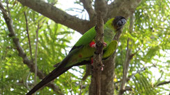 Nanday Parakeet, Nandaysittich, Aratinga nenday