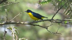 Yellow-throated euphonia, Schwalbenorganist, Euphonia hirundinacea