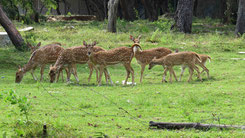 Chital, Spotted Deer, Axishirsch, Axia axis