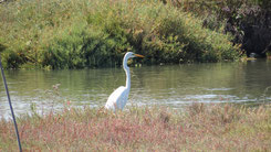 Great Egret, Silberreiher, Ardea alba