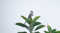 Fork-tailed Flycatcher, Gabeltyrann, Tyrannus savana