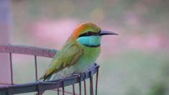 Green Bee-Eater, Smaragdspint, Merops orientalis