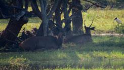 Sambar Deer, Sambar, Rusa unicolor