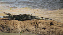 Saltwater Crocodile, Leistenkrokodil, Crocodylus porosus