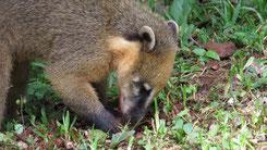 Southamerican Coati, Südamerikansicher Nasenbär, Nasua nasua