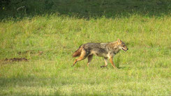 Golden Jackal, Goldschakal, Canis aureus