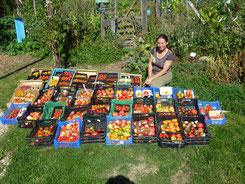 Tomates de variétés anciennes du jardin permaculture