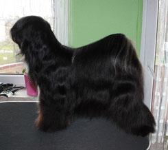 BOB Peißen 2014 Tibet Terrier  Da-Laih´s Dream-Mhing-Daih-Mond Made of Dog´s Wisdom